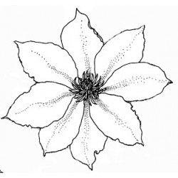 clématite fleur tampon nm
