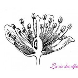 étamines tampon botanique nm